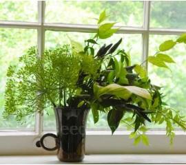Anethum graveolens, Florists Dill 'Mariska'