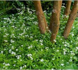 Galium odoratum, 'Sweet Woodruff'