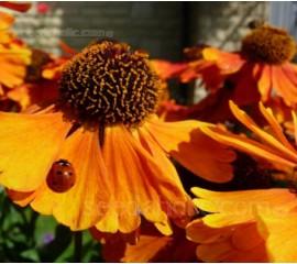 Helenium autumnale 'Helena'