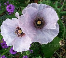 Papaver rhoeas 'Mother of Pearl'.