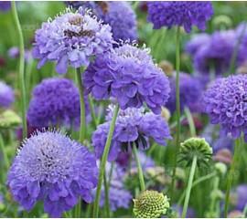 Scabiosa atropurpurea 'Oxford Blue'