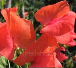 Lathyrus odoratus, Grandiflora 'Henry Eckford'