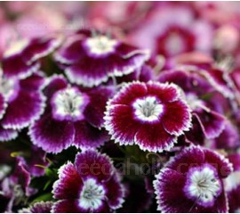 Dianthus barbatus 'Auricula-eyed Mix'
