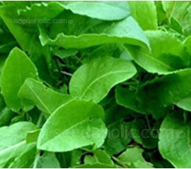 Sorrel, Patience Sorrel 'Volare'