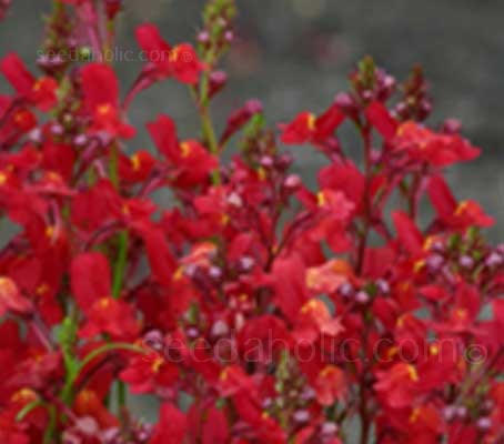 'Licilia Red' bloom with the most vivid colours of the series. Beautiful Snapdragon-like flowers in the most sumptuous, deep velvety-red.