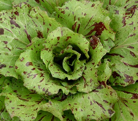 'Variegata di Castelfranco' has a fresh and a delicate taste that is sweet to pleasantly bitter and a crisp texture that makes this chicory so special.