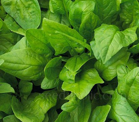 Spinach 'F1 Harp' is an oriental style spinach with attractive, serrated dark green leaves.