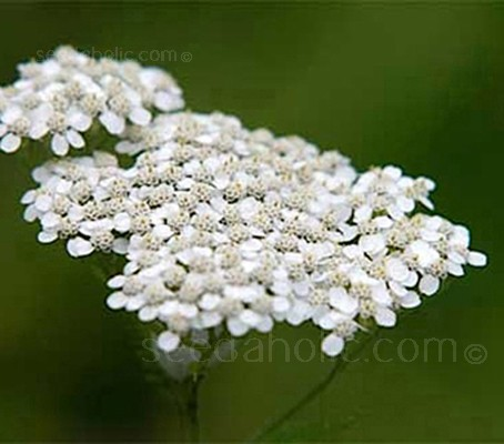 Achillea millefolium have clustered flower heads of tiny white flowers that from a distance look like little patches of snow resting on the grass.