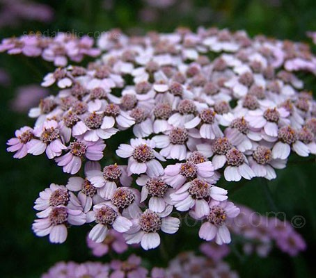 Achillea sibirica var. camtschatica 'Love Parade' has dense clusters of large flat-topped soft pink flowers