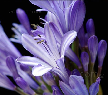 Agapanthus is a versatile subject that is excellent for cutting.