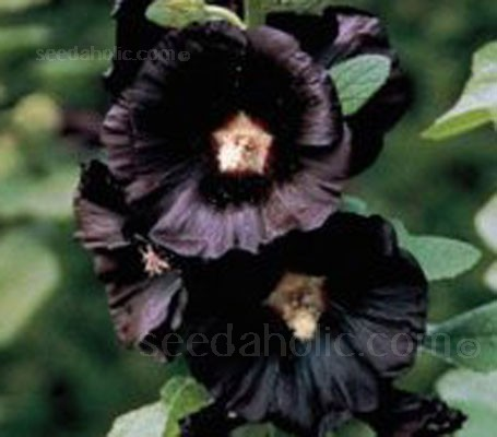 The dramatic, near-black flowers of Nigra work equally well in a contemporary, minimalist garden.