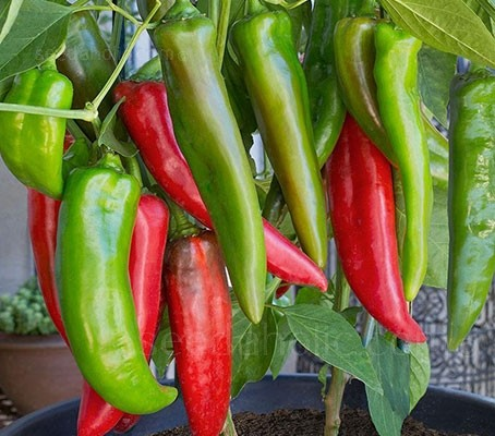 The Anaheim is a slightly sweet pepper with just a little pop, they are great for people who typically don't like spicy foods.