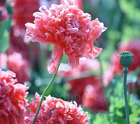 Papaver paeoniflorum 'Antique Shades'