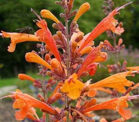 Agastache 'Apricot Sprite' is an outstanding perennial that provides a sizzling blast of tubular, peachy-apricot flowers