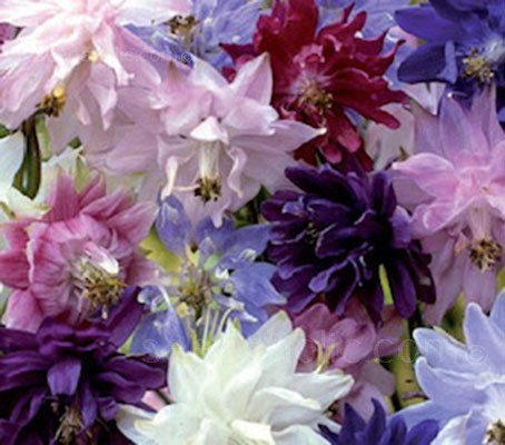 Aquilegia var. stellata 'Barlow Mix' is the first Aquilegia series with fully double, spurless flowers.