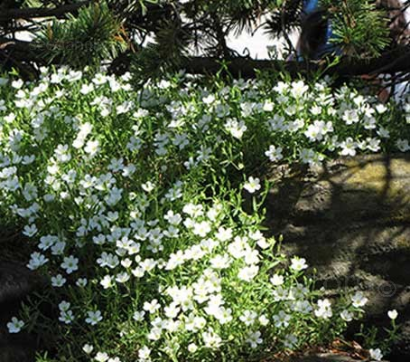 Arenaria montana is a classic little alpine or rock garden plant, still relatively unknown to many gardeners.