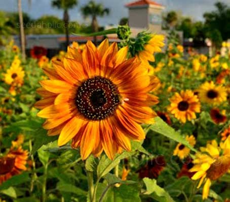 Sunflower 'Autumn Beauty' is a classic variety.
