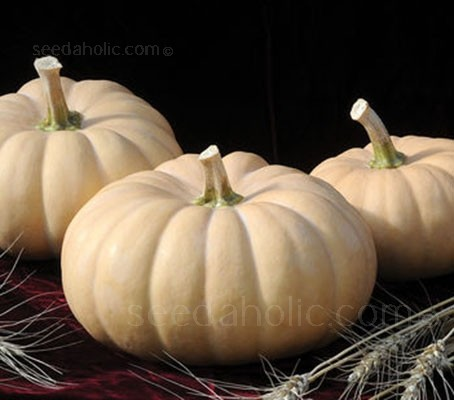 Autumn Crown'is a new butternut crossed with a Winter squash, Crown Prince F1.