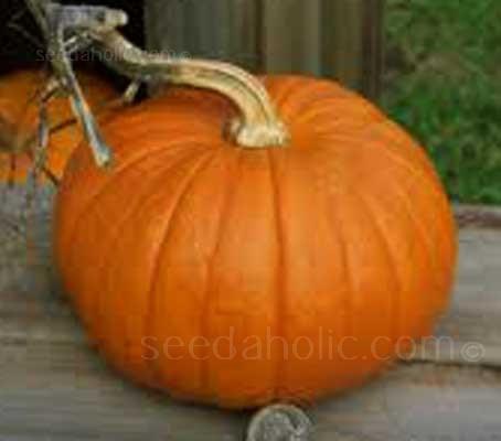 'Baby Bear' pumpkins produce small, sweet orange pumpkins shaped like a flattened globe.