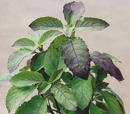 This reddish-purple tinted plant exudes a delicious, sweet, clove-like aroma.