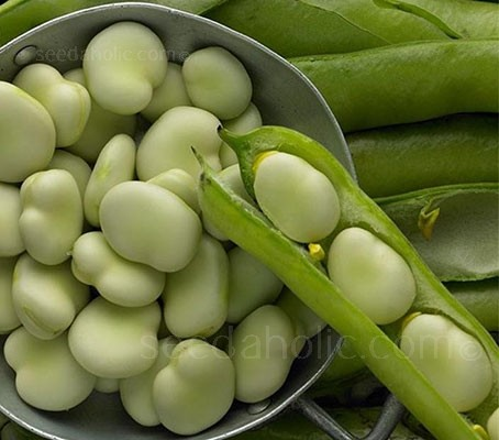 Broad Bean 'Eleonora' is a new improved selection of the popular Express variety.