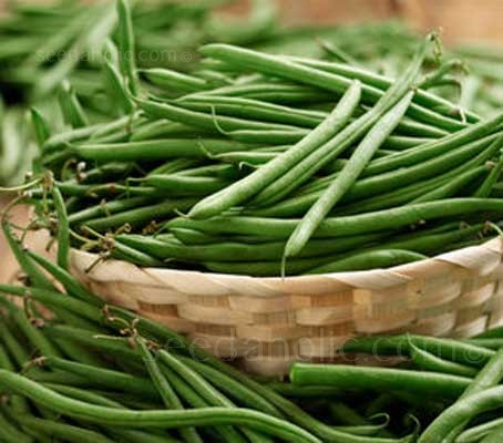 Dwarf french bean Stanley is a  white flowering, white seeded variety that reliably delivers impressive yields of top quality beans.