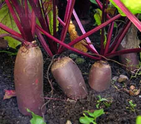 Beetroot Cylindra, as its name suggests, grows a dark red, elongated, cylindrical root, 7 to 10cm (6 to 8in) long.