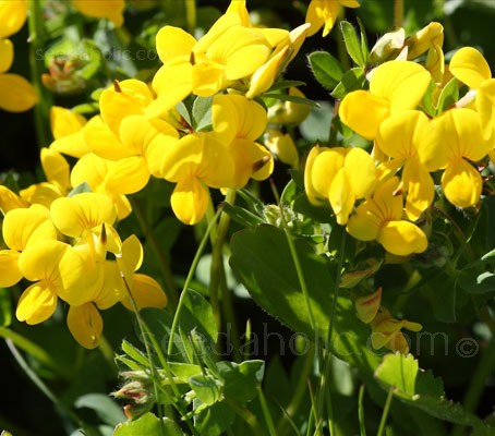 'Bird's Foot-Trefoil' is well distributed throughout the UK and Ireland
