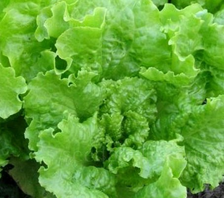 This legendary lettuce was first introduced by Peter Henderson & Co. of New York around 1879