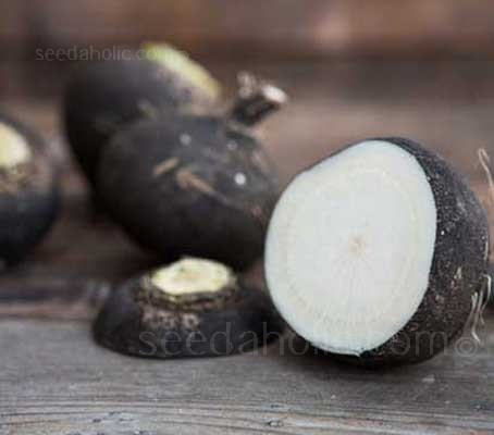 With its inky black skin and pure white flesh, the Black Spanish radish represents a particular specialty.