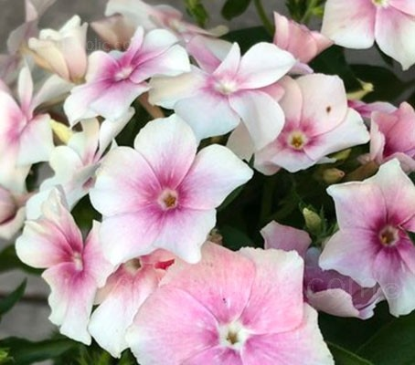 Silvery white petals are dressed in tints of blush pink that darken with age, some with a darker pink eye.