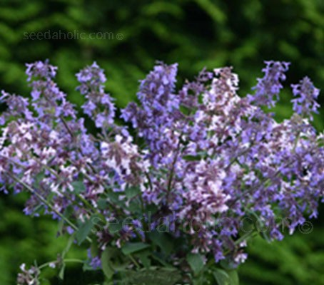 'Border Ballet' is a striking new catmint with flowers in shades of blue and pink