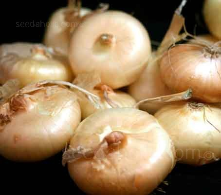 Borettana onions are the Italian sports car of onions. Sweet, sleek and stylish with a wonderful flavour.