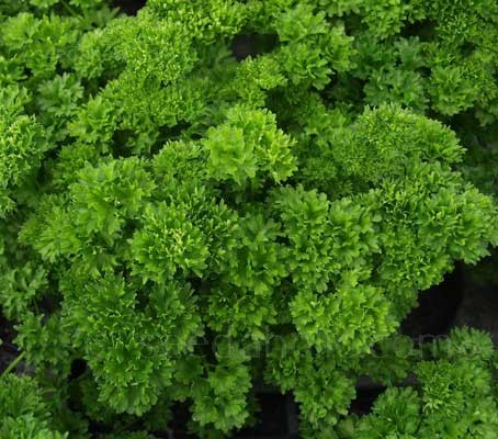 Parsley 'Bravour' is an outstanding variety of moss curled type.