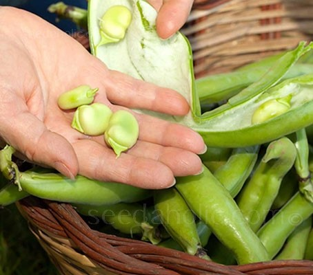 Broad Bean 'Ratio' is a very high-yielding variety.