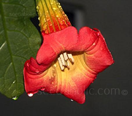 Brugmansia sanguinea 'Red Datura'