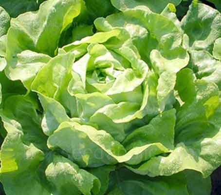 Lettuce 'All Year Round'