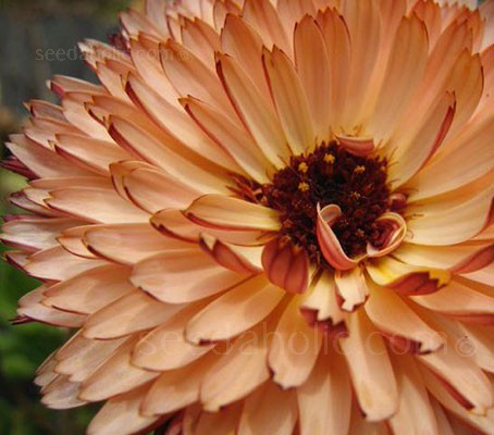 Calendula officinalis 'Sunset Buff' has soft buff-apricot petals, each with crimson backs.