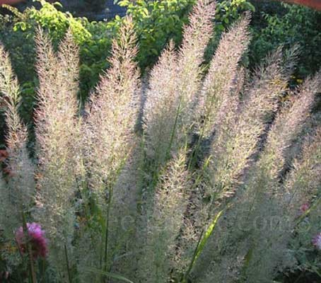 Calamagrostis brachytricha is well suited to perennial herbaceous borders and naturalistic planting schemes