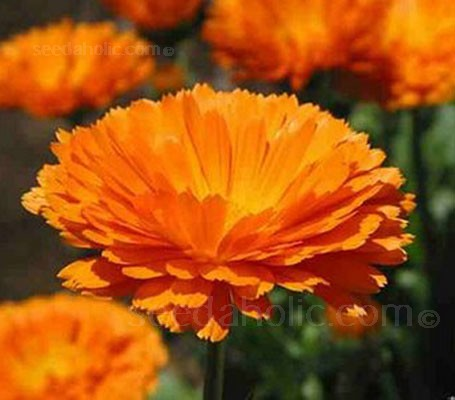 Cheerful and bright, use Calendula alone or in combination with other flowering annuals and perennials in beds, borders or containers.
