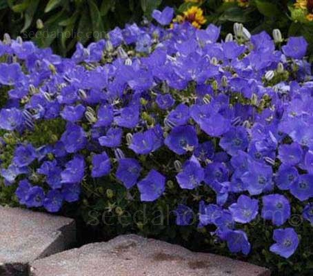 Campanula carpatica F1 Blue covers its low mounds of foliage with upward-facing blue bells for weeks in summer.