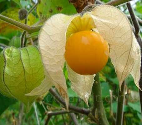 Physalis edulis is characterised by the small orange fruit, similar in size, shape and structure to a small tomato.