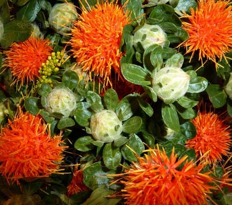 Carthamus tinctorius 'Kinko' has been bred specifically for indoor and outdoor professional cut flower production.