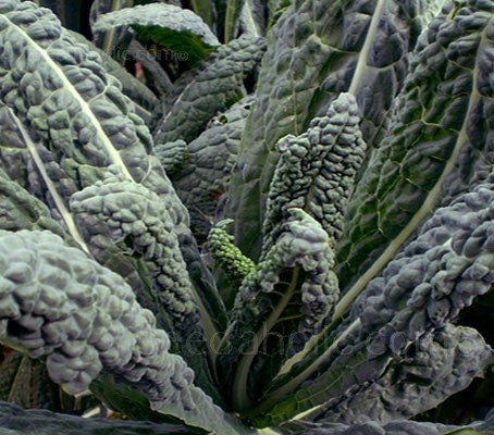 Until recently Cavolo Nero, or 'Tuscan Kale', was one of Italy's best kept secrets.