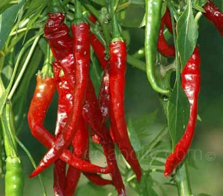 Long Slim Red Cayenne is a good long hot chilli that always performs well and dries nicely.