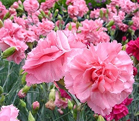Super tall stems display the most beautiful range of coral, salmon, blush, pink and cherry flowers.
