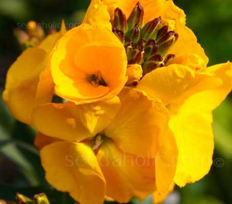 The large golden-yellow flowers are filled with a sweet fragrance, from mid-spring and throughout summer.