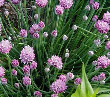 Chives are easily raised from seed; they will soon produce strong clumps that grow to 30cm in height.