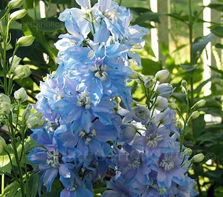 Delphinium Belladonna 'Cliveden Beauty'