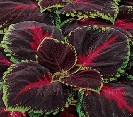 Coleus 'Kong Red' displays a broad vein in a brilliant red down the center of each leaf.
